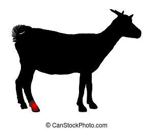 chèvre, hock, douleur