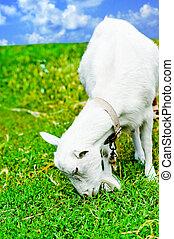 chèvre, manger, pré, frôlé
