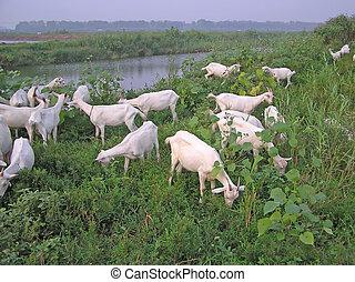 chèvres, champs