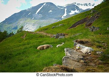 chèvres, dans, les, montagnes.