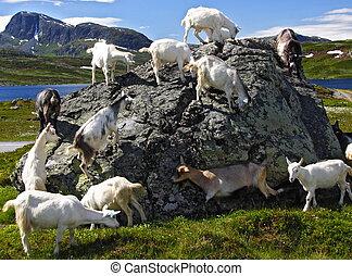 chèvres, dans, norvège