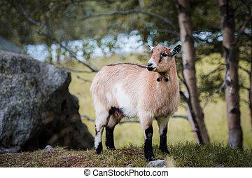 chèvres, sur, a, été, pâturage