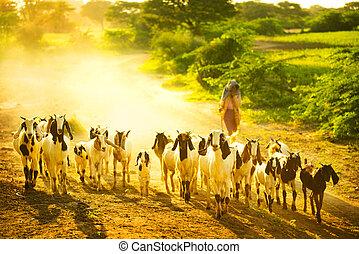 chèvres, troupeau