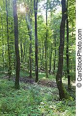 chêne, jeune, forêt
