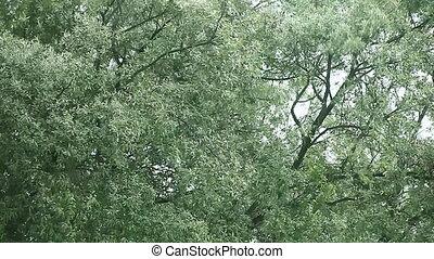 chêne, vent, arbres
