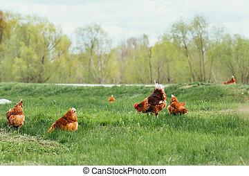 chůze, kohout, pastvina, kuře