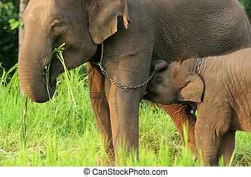 chaîne, mère,  norht, Thaïlande,  Éléphant, bébé