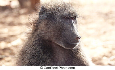 A portrait of a beautiful chacma baboon