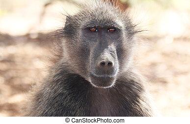 A portrait of a beuatiful chacma baboon