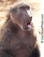 A portrait of a female chacma baboon sticking her tounge out
