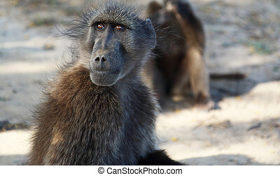 A portrait of a young chacma baboon