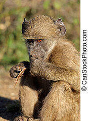 A young Chacma baboon (Papio hamadryas ursinus), Kruger National Park, South Africa
