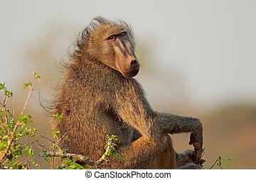 Big male chacma baboon (Papio hamadryas ursinus), Kruger National Park, South Africa
