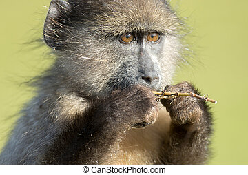 Chacma baboon eating near Cape Point outside of Simon's Town, South Africa.
