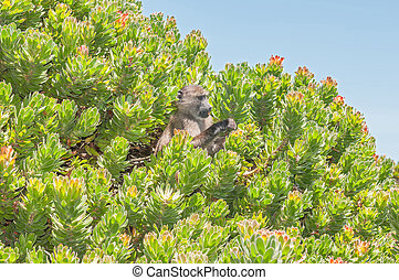 Chacma baboon in a protea shrub