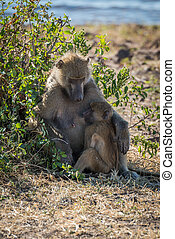 Chacma baboon mother nursing baby by bush