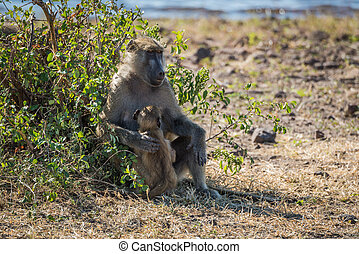 Chacma baboon mother with baby beside bush