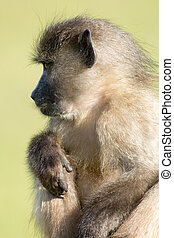 Chacma baboon near Cape Point outside of Simon's Town, South Africa.