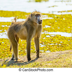 Chacma Baboon or Cape Baboon in Botswana's Chobe National Park in Africa