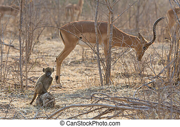 Chacma Baboon (Papio ursinus) baby with impala in the background