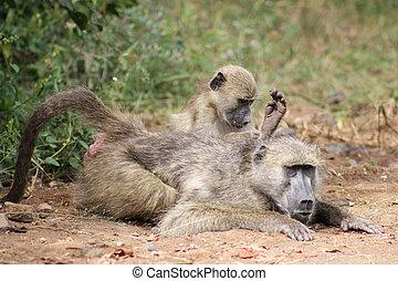 chacma baboon ( Papio ursinus )