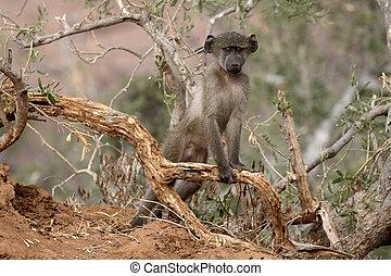 Chacma baboon, Papio ursinus