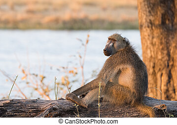 Chacma Baboon (Papio ursinus) sitting on log