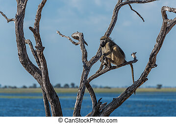 Chacma baboon sitting beside river in tree
