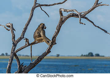 Chacma baboon sitting by river in tree
