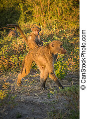Chacma baboon walking with baby on back