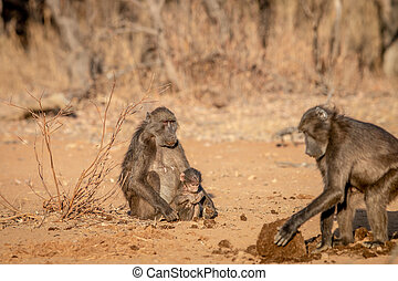 Chacma baboon with a baby sitting in the grass.
