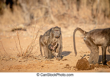 Chacma baboon with a baby walking towards camera.
