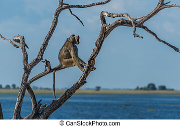 Chacma baboon yawning in tree by river