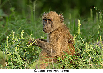 Young Chacma baboon sitting in the grass, South Africa