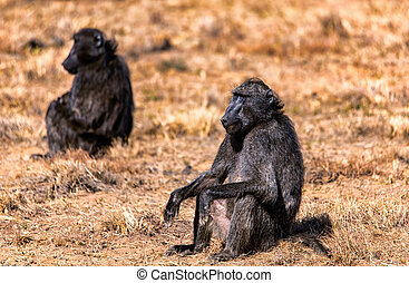 A Chacma Baboon sitting on the ground in warm light.