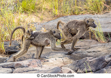 Chacma baboons family