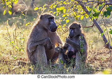Male, female and baby Chacma Baboons (Papio ursinus) in the Okavango Delta in Botswana, Africa.