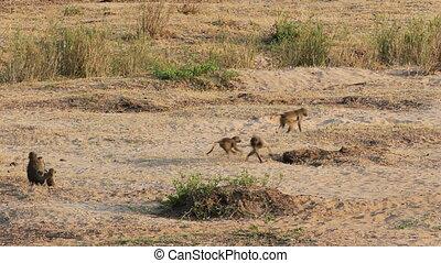 Chacma baboons (Papio hamadryas ursinus) playing, Kruger National Park, South Africa