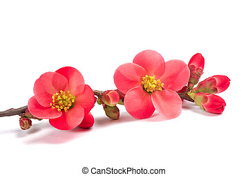 Chaenomeles speciosa flowers isolated on white background