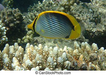 Chaetodon melannotus fish from the Red sea