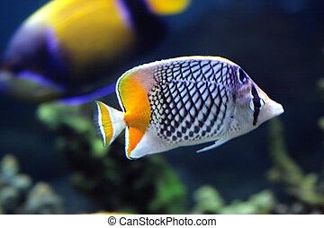 Chaetodon xanthurus yellow tail butterfly fish in aquarium closeup