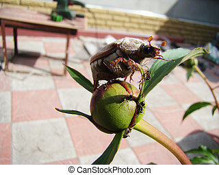 chafer adult, sitting on unopened flower peony