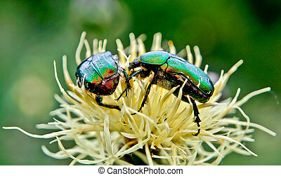 Chafer beetles. - Chafer beetles graze on Russian cornflower...