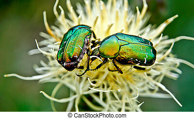 Chafer beetles . - Chafer beetles graze on Russian...