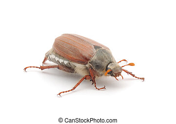Chafer isolated on white - may bug macro isolated on a white...