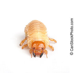 Chafer larva isolated on white