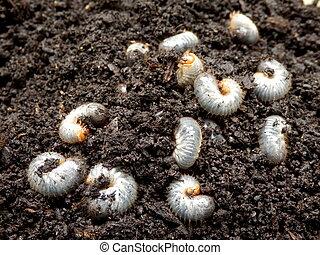 Chafer Larva (Phyllophaga) - White grubs burrowing into the...