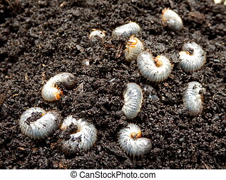 Chafer Larva (Phyllophaga) - White grubs burrowing into the...