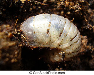 Chafer Larva - Close up of a white grub burrowing into the...