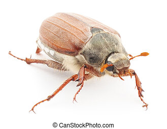 chafer macro isolated on a white background